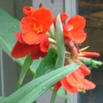 CANNA LILY RED