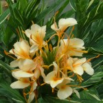 GINGER LILY- TAHITIAN FLAME