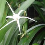 KRINUM SPIDER LILY